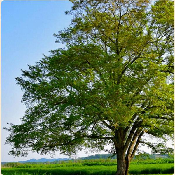 エルム材の特徴2世界中で親しまれる木