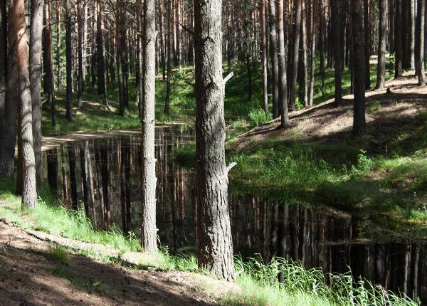 パインの森林